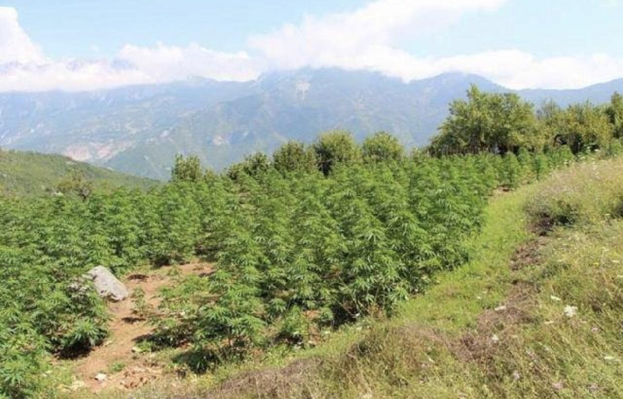 Katër parcela me rreth 300 bimë kanabis ne Memaliaj